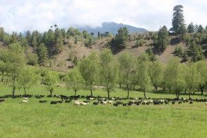 Sheep in Ura valley